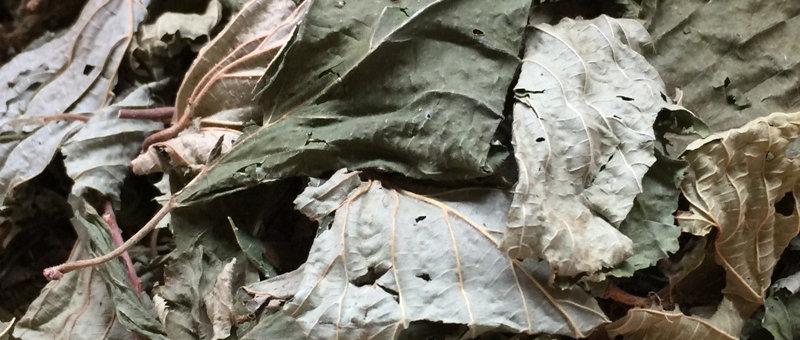 Maulbeerblätter