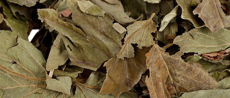 Haselnussblätter