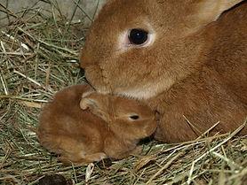 Kaninchen säugend Kaninchen schwanger Futter.jpg