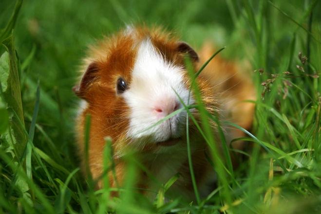 Meerschweinchen im Gras.jpg