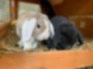 Zwergwidder Kaninchen Tim & Struppi.jpg