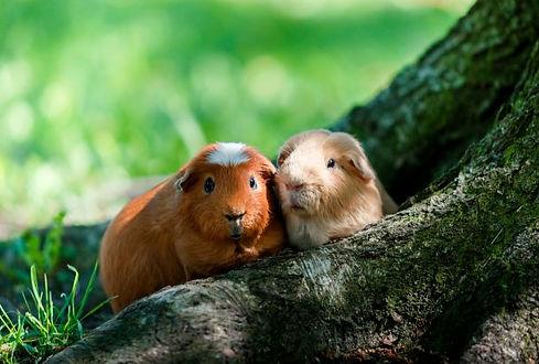 Zwei Meerschweinchen S.jpg