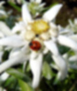 edelweiss blume.jpg