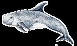 Risso ́s  dolphin