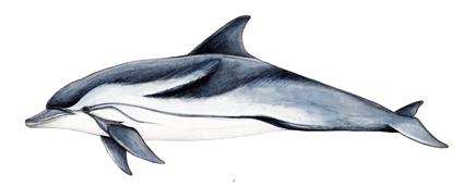 Полосатый дельфин
