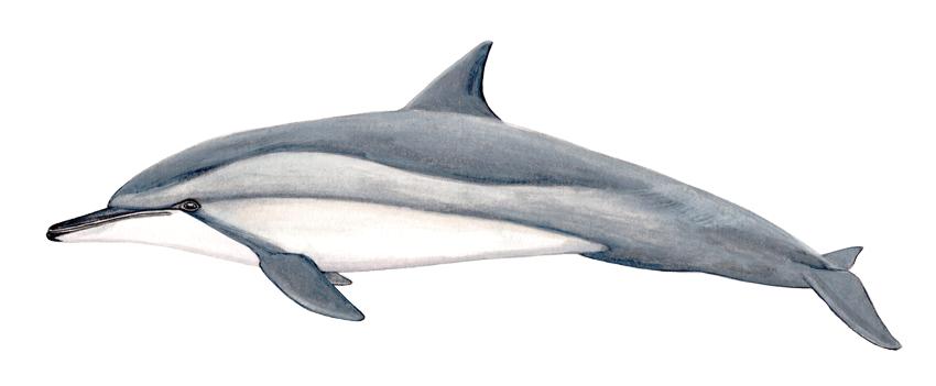 Длинноносый дельфин