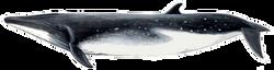 Bryde ́s  whale