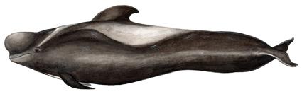 Короткоплавниковая гринда