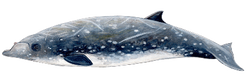 Blainville ́s  beaked whale