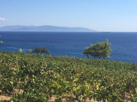 Stella vineyard
