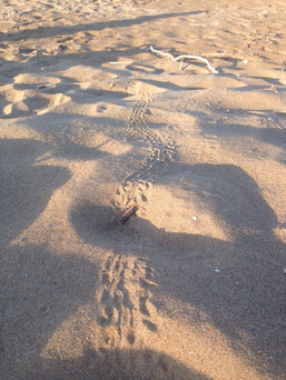 Footsteps from little sea turtles