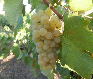 robola grape.JPG