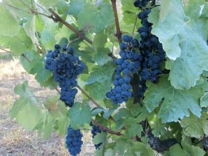Mavrodaphne grape