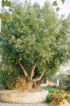 Local variaty of olive tree