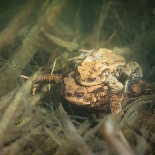 Erdkröte Unterwasser