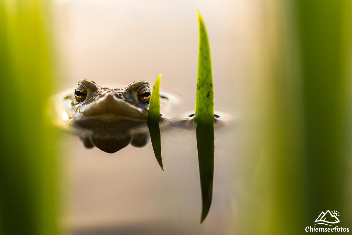 Frosch am Chiemsee