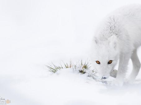 Beim weißen Fuchs
