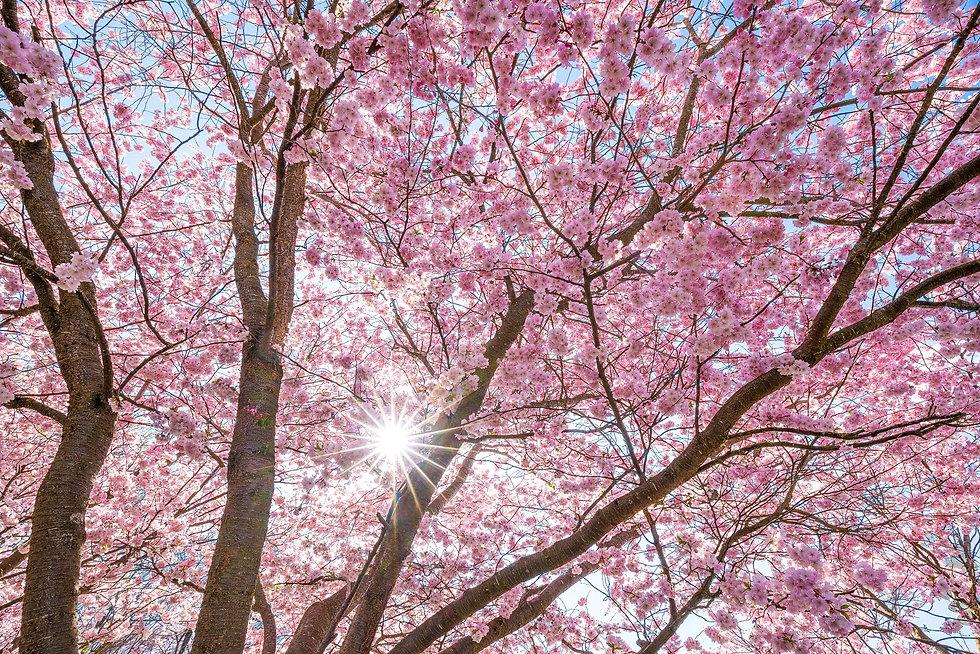 Kirschblüte Bayern