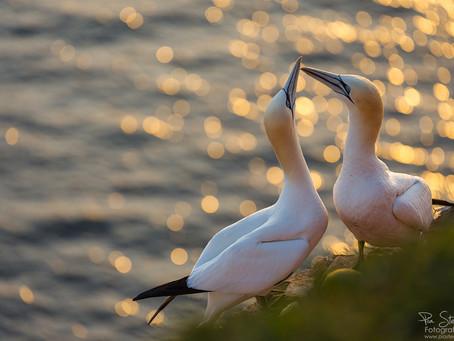 Helgoland – Insel der Basstölpel