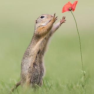 Ziesel mit Blume