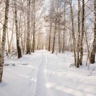 Weißer Birkenwald