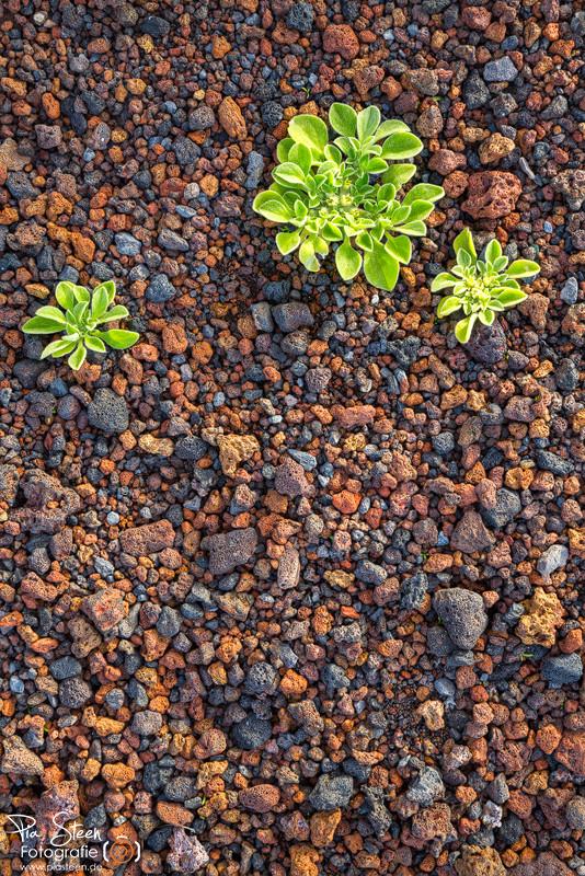 Teneriffa Pflanzen