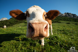 Kuh im Chiemgau