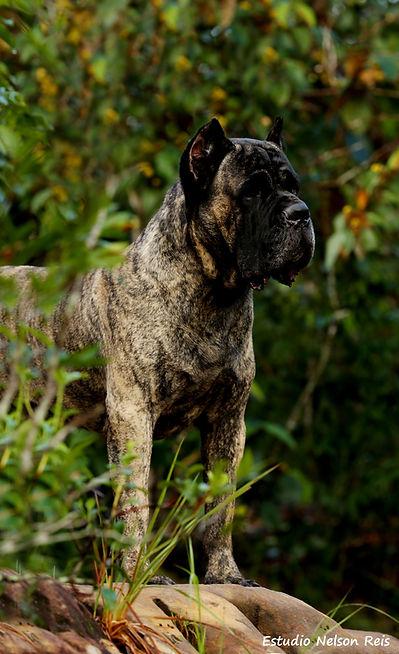 cão da raça cane corso italiao de pelagem malhada em meio à natureza