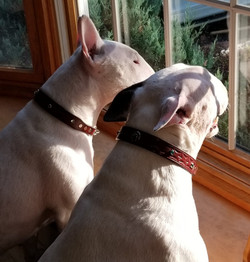 Bull terrier leather martingale