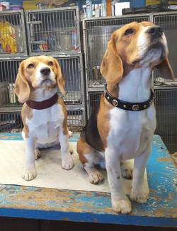 Beagle leather dog collars