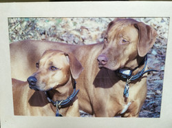 Rhodesian ridgeback leather collars