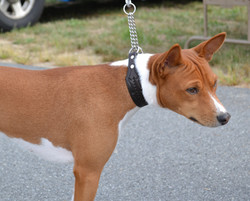 Basenji leather martingale collar