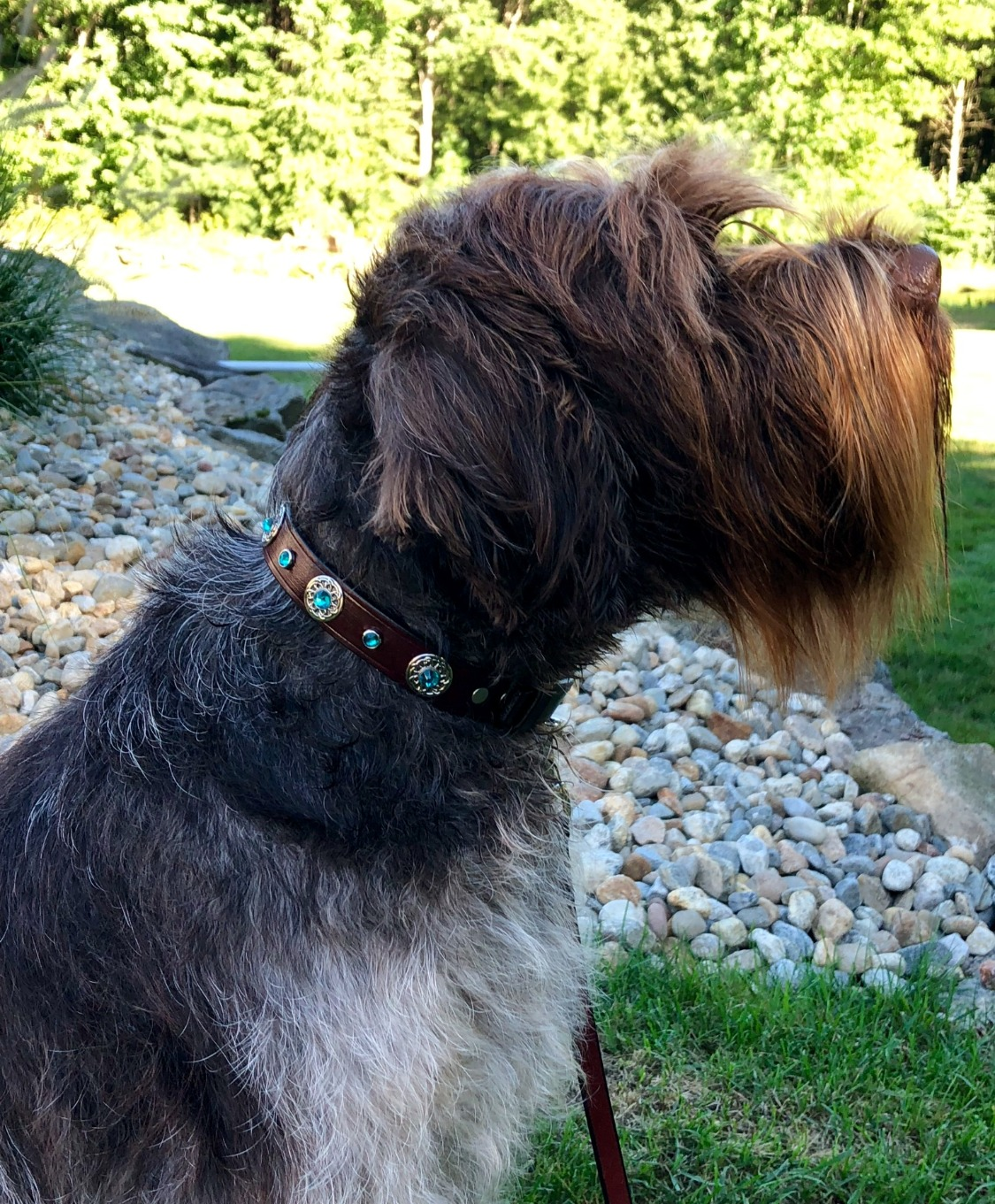 Collar and leash set for Griffon