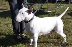 Bull terrier leather dog collar