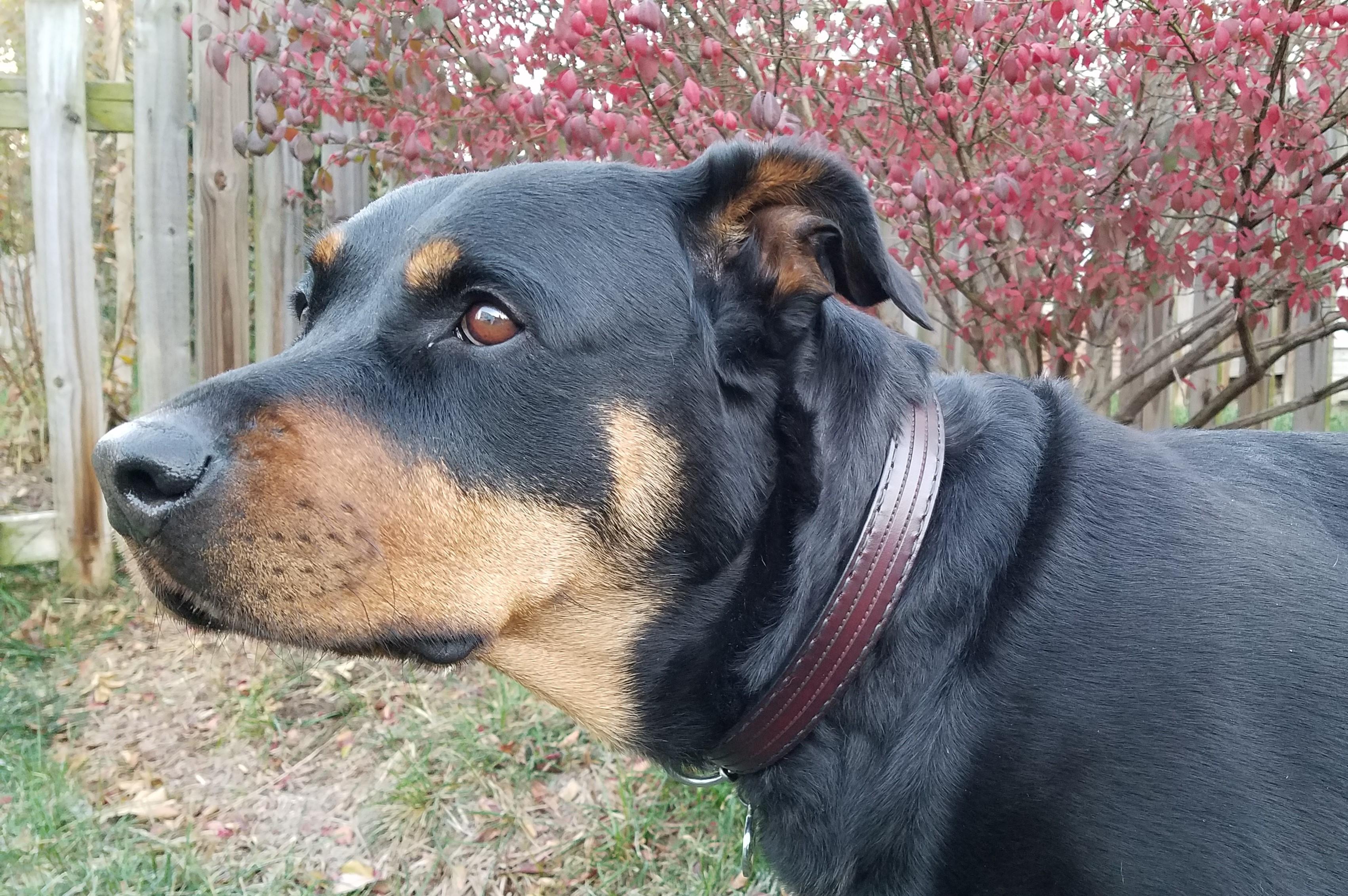 Rottweiler leather dog collar