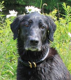 Black lab rolled leather dog collar