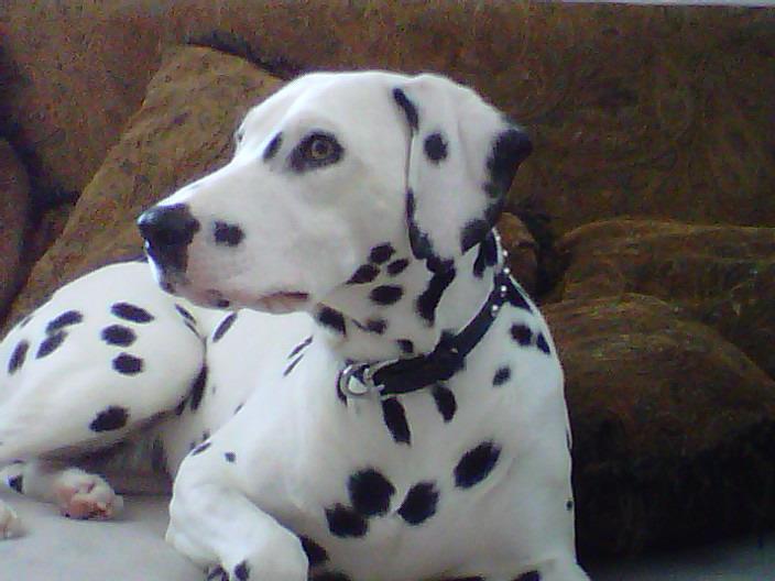 Dalmatian leather dog collar