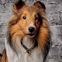 Shetland sheepdog leather dog collar