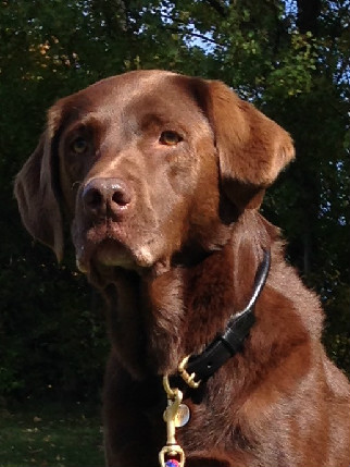 Labrador retriever rolled collar