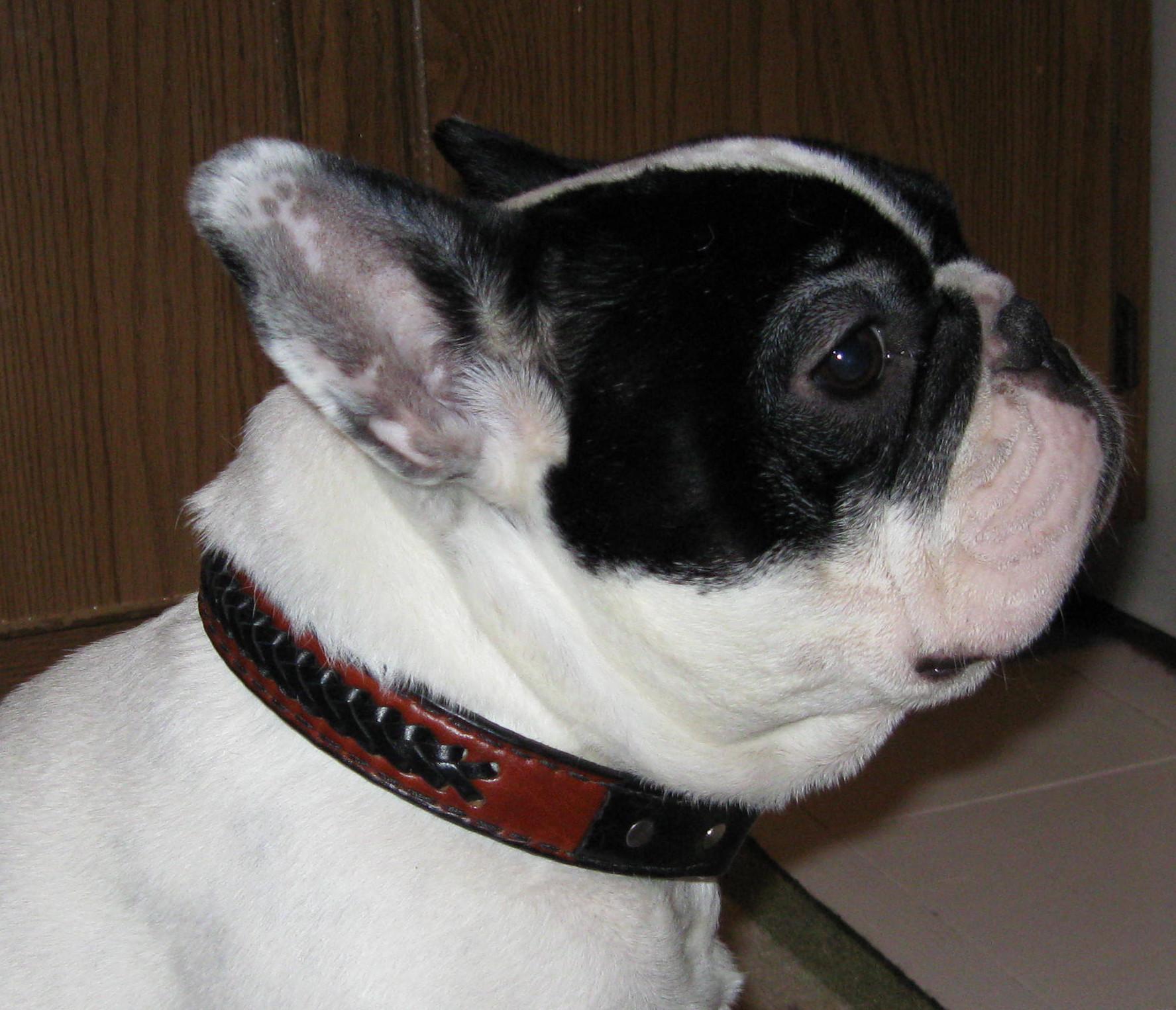 French bulldog leather dog collar