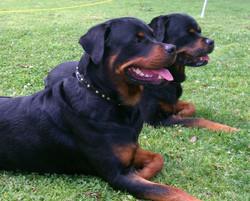 Rottweiler buckle collar