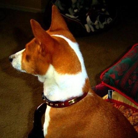 Basenji leather dog collar