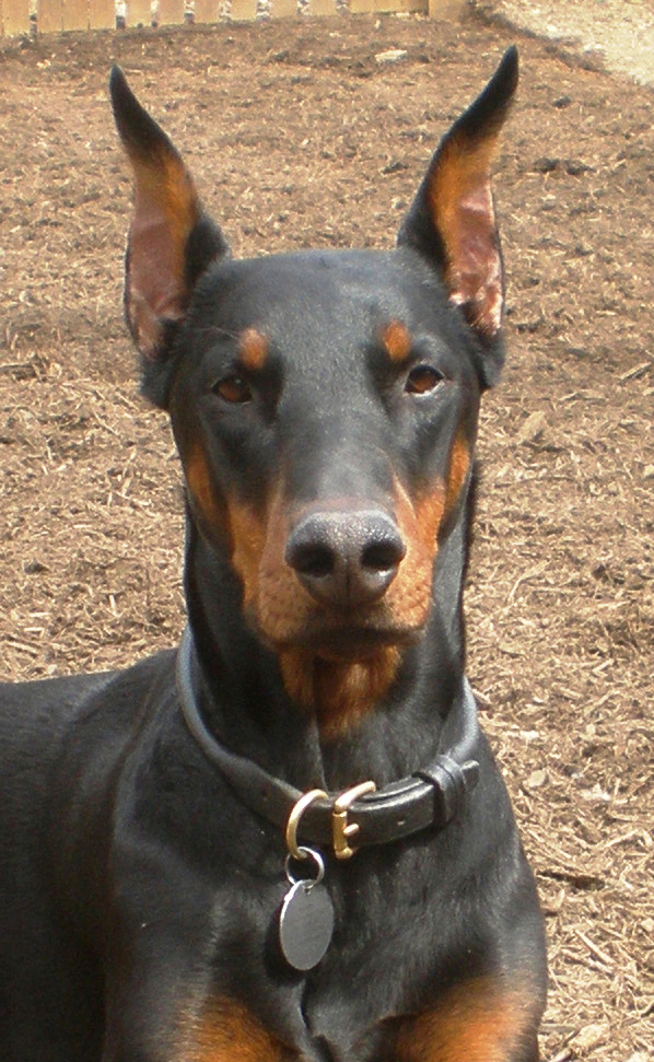 Doberman rolled leather dog collar