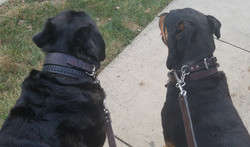 Rottweiler leather collars