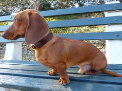 Dachshund leather dog collar