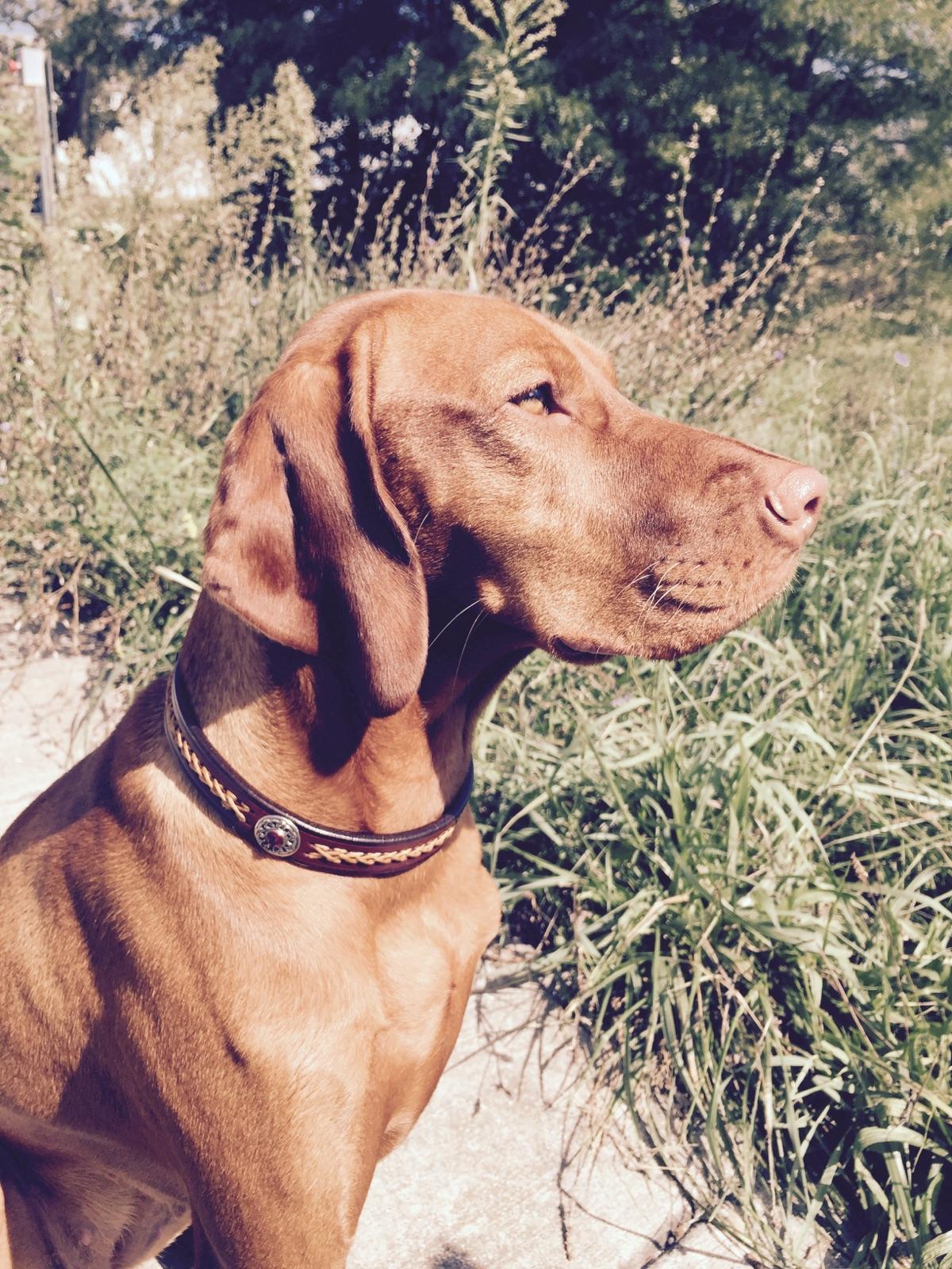 Vizsla leather dog collar