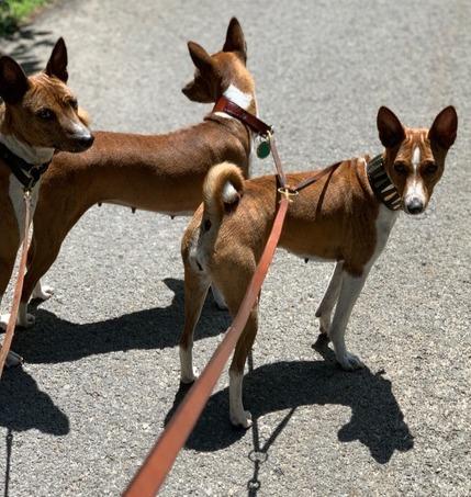 Basenji trio with collars and leash