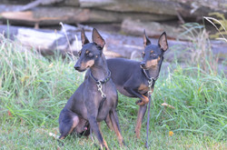 Toy Manchester terrier collars