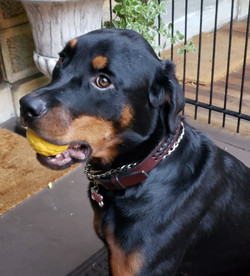 Rottweiler laced leather collar