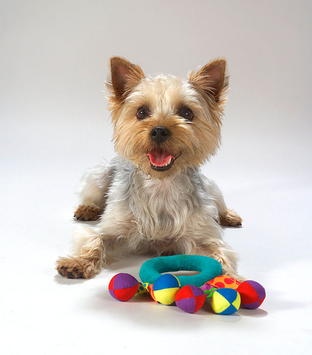 West Highland Terrier.jpg